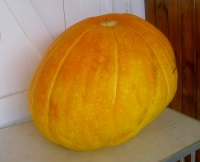 Giant pumpkin